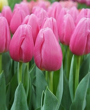 Тюльпаны (луковицы)