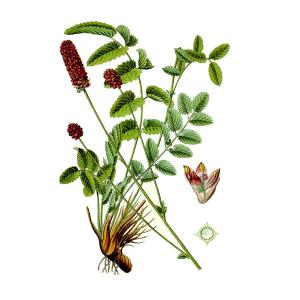 Семена Кровохлебка