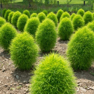 Семена Кохии