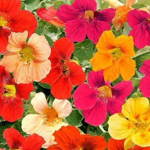 Семена Настурция