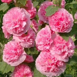Семена Шток Роза