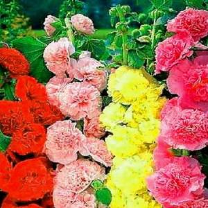 Семена Шток Роза многолетняя