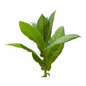 Семена Табака (Махорки)